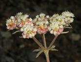 Eriogonum ursinum