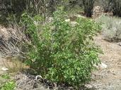 Sambucus nigra ssp. caerulea
