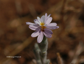 Lessingia virgata
