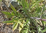 Phacelia imbricata ssp. imbricata