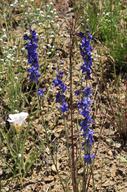 Delphinium parryi ssp. purpureum