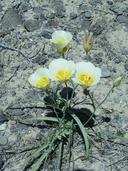 Calochortus nuttallii