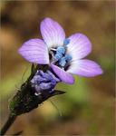 Gilia clivorum