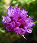 Allium serra