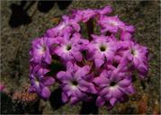 Abronia umbellata var. breviflora