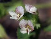 Trifolium monanthum ssp. tenerum