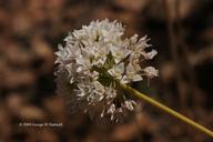 Allium jepsonii