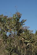 Eriodictyon sessilifolium