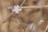 Linanthus liniflorus