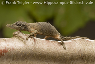 "<strong>Author:</strong> <a href=""http://calphotos.berkeley.edu/cgi/photographer_query?where-name_full=Frank+Teigler&one=T"">Frank Teigler</a>"