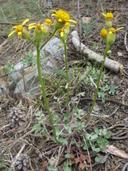 Packera ionophylla