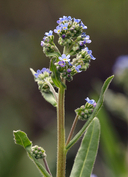 Hackelia micrantha