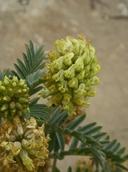 Astragalus pycnostachyus var. pycnostachyus