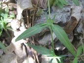 Kelloggia galioides