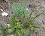 Euphorbia portlandica