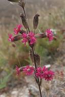 Silene scouleri ssp. scouleri