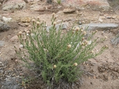 Brickellia oblongifolia var. linifolia