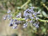 Ceanothus leucodermis