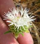 Monardella hypoleuca ssp. lanata