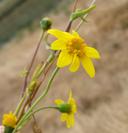 Lasthenia chrysantha