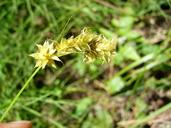 Carex echinata ssp. phyllomanica