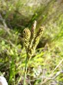 Carex gynodynama