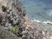 Dudleya virens ssp. insularis