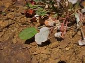 Eriogonum nudum var. oblongifolium