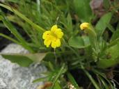 Mimulus primuloides var. linearifolius