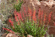 Penstemon eatonii