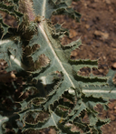 Argemone munita ssp. rotundata