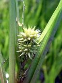Sparganium eurycarpum var. greenei
