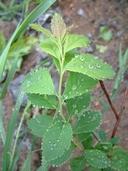 Spiraea alba var. latifolia