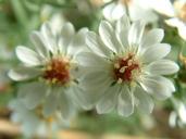 Symphyotrichum ericoides var. ericoides