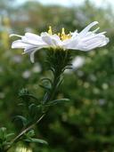 Symphyotrichum novi-belgii var. novi-belgii (L.) Nesom (=Aster novi-belgii L. var. novi-belgii) aster de Nouvelle-Belgique [New York aster]