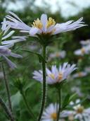 Symphyotrichum novi-belgii var. villicaule (Gray) J. Labrecque & L. Brouillet (Aster novi-belgii var. villicaulis (A.Gray) Boivin) aster villeux [Hairy New York aster]