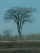 Ulmus americana L. orme d'Amérique [White elm]