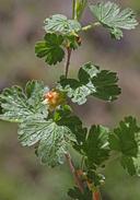 Ribes binominatum