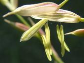 Zizania aquatica var. brevis