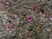 Mimulus viscidus var. compactus