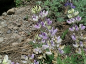 Summit Lupine