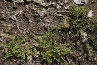 Herniaria hirsuta