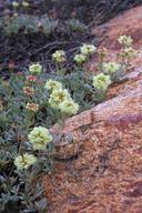 Eriogonum twisselmannii