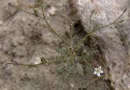 Aliciella micromeria