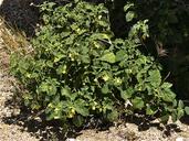 Physalis hederifolia