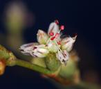 Eriogonum bifurcatum