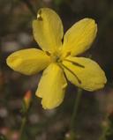 Menodora scabra