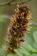 Amorpha californica var. californica