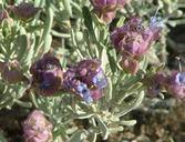 Salvia dorrii ssp. mearnsii