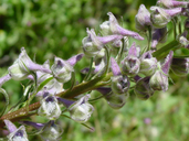 Delphinium californicum ssp. californicum